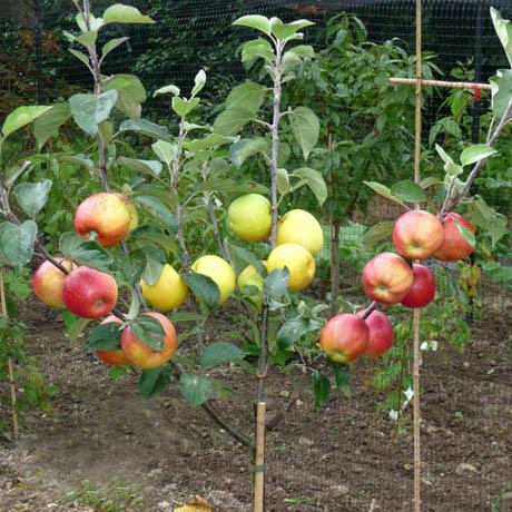 Fruit Salad Tree Prospectrock Org